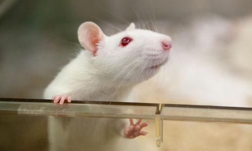 A white rat peeking above a clear wall
